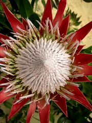 produce(0.0), purple coneflower(0.0), flower(1.0), plant(1.0), macro photography(1.0), flora(1.0), close-up(1.0), protea(1.0), proteales(1.0), petal(1.0),