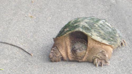 05/30/10 Large Turtle