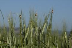 grass(0.0), food(0.0), phragmites(0.0), plant stem(0.0), emmer(1.0), hordeum(1.0), prairie(1.0), agriculture(1.0), triticale(1.0), einkorn wheat(1.0), rye(1.0), food grain(1.0), field(1.0), barley(1.0), wheat(1.0), plant(1.0), crop(1.0), cereal(1.0),