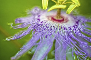 Electric Passion Flower