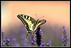 Machaon, by Jean Jacques Cordier
