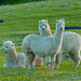 Small photo of Alpacas