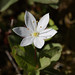 Arctic Starflower - Photo (c) Shandchem, some rights reserved (CC BY-ND)