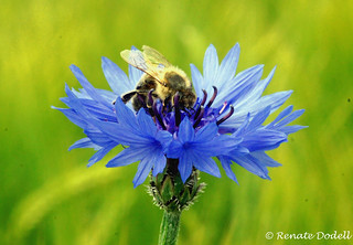 Cornflower with visitor