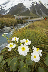 Aoraki Mt Cook Lillies (credit: The Hermitage)