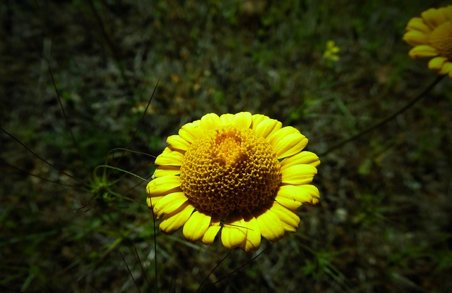 sarı papatya