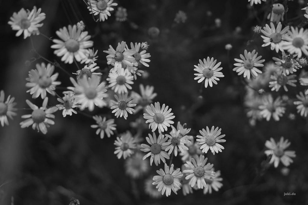 White Flowers Black Background Joki Flickr