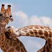 IMG_3121 Necking Giraffes by smallmozz