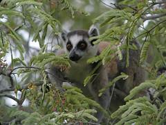 animal, branch, mammal, fauna, lemur, jungle, wildlife,