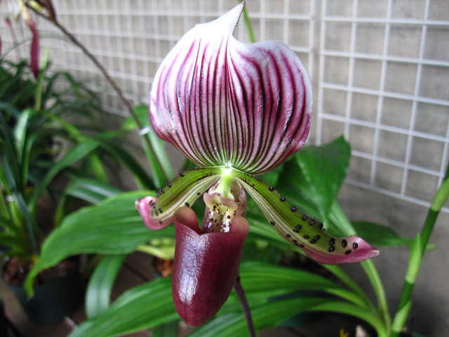 Easy to see why Paphiopedilum Onyx is a favorite of many orchid societies, the texture and colors are stunning! It's on display along with many other orchids in the Aquatic House of the Steinhardt Conservatory. Photo by Rebecca Bullene
