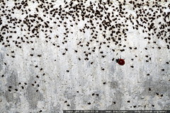 aphids vs. ladybugs