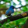 จับแมลงสีฟ้าท้องขาว Blue and White Flycatcher by somchai@2008