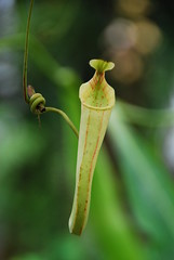 carnivorous plant, yellow, plant, nature, macro photography, flora, green, fauna, close-up,