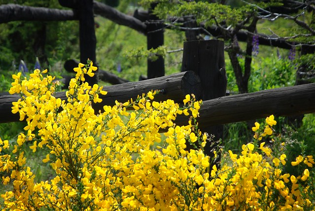 Yellow Brooms and Black Fences