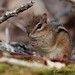 Eastern Chipmunk 100405-17