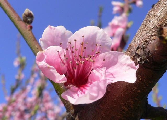 Fiore di pesco (Prunus persica)