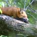 Fox - Animal ID by g2pix