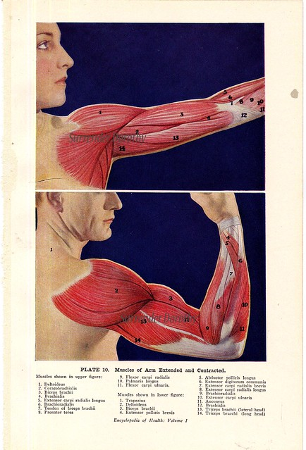 front flexed arm tendon diagram arm muscles flexed and extended human anatomy 1933 - a ... knee tendon diagram #6