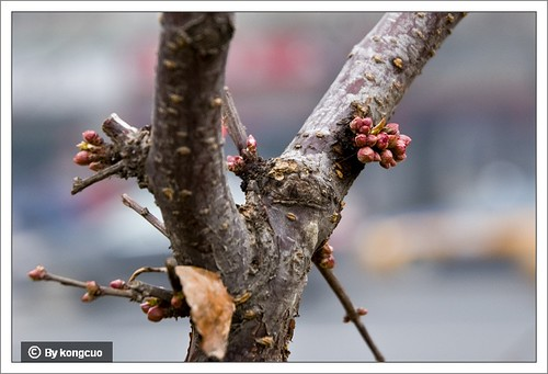 【图】榆叶梅的花芽