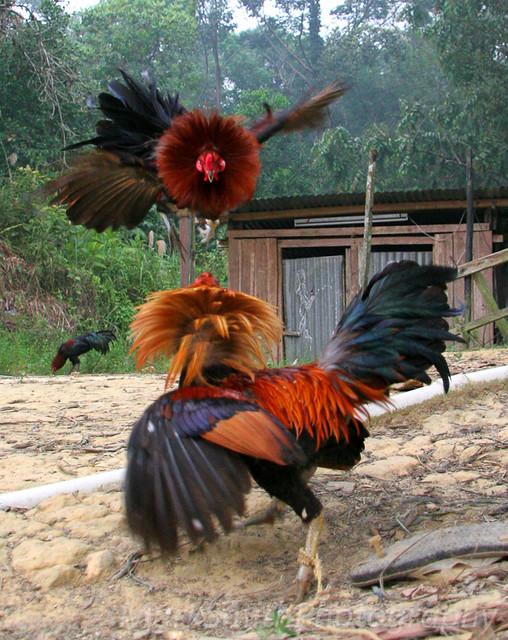 Cock Fight Training 116