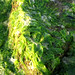 Thu, 22/06/2006 - 18:29 - Macroalgae bloom, Ulva lactuca (sea lettuce), that washed up onto the Oxford beach along the Tred Avon River (Maryland, US).Photo Credit: Emily Nauman | IAN