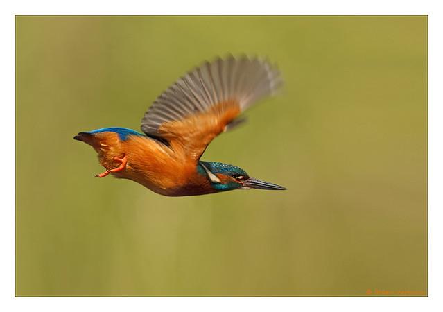 Kingfisher Flying Flying Kingfish...
