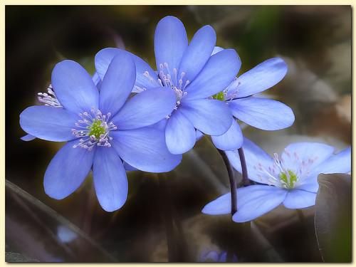blue flower color macro nature closeup austria spring bokeh styria neubergandermürz mygearandmepremium mygearandmebronze mygearandmesilver mygearandmegold mygearandmeplatinum mygearandmediamond