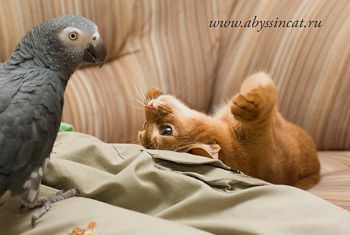 Hands up!..(abyssinian kitten & parrot) by Abysphere
