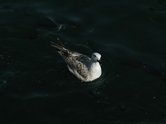 Sea gull surrounded by fish