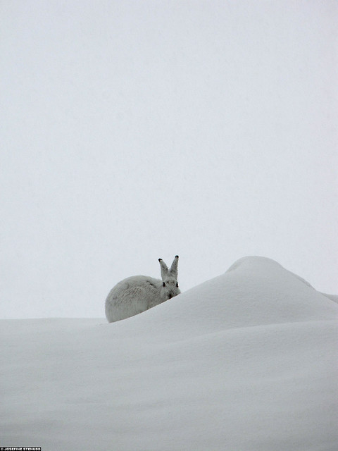 20100331_13 Mountain hare (Lepus timidus) in its winter pelage, Norway