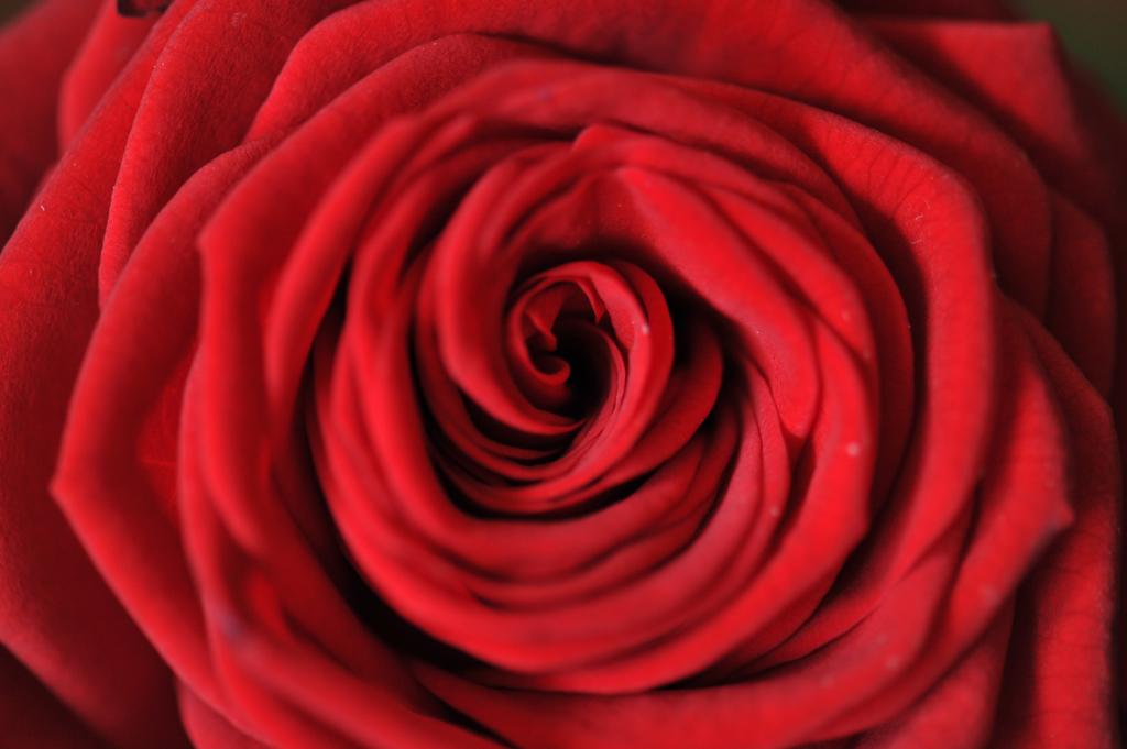 Rose IX