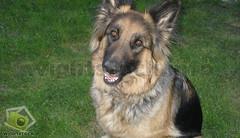 bohemian shepherd(0.0), wolfdog(0.0), dog breed(1.0), german shepherd dog(1.0), animal(1.0), dog(1.0), old german shepherd dog(1.0), king shepherd(1.0), tervuren(1.0), east-european shepherd(1.0), shiloh shepherd dog(1.0), carnivoran(1.0),