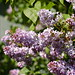 the lilac tree is in full bloom
