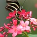 Zebra on Jatropha