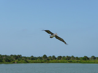 Photo of the Week – An oil-free brown pelican soars over Pelican Island National Wildlife Refuge (FL)