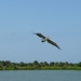 Photo of the Week - An oil-free brown pelican soars over Pelican Island National Wildlife Refuge (FL)
