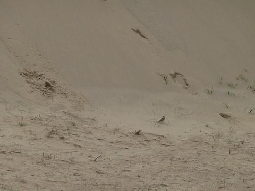 birds japan sand dunes sanddunes tottori honshu skylarks