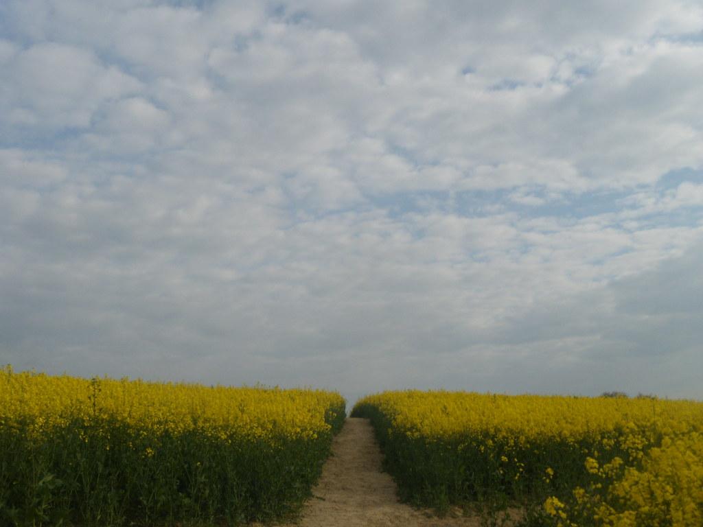 Path through rapefield Pluckley Circular