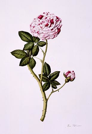 "Rose Pellicano, Rosa 'Variegata di Bologna' Watercolor on Lanaquarelle, 20"" × 16"""