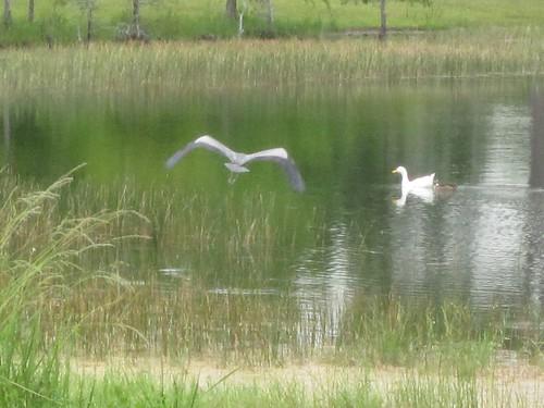 park lake green birds misty flickr pastel flight ducks grasses egret flyingbirds ilobsterit