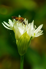 HolderA Pollen Thief