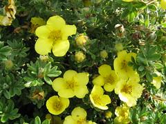 Potentilla fruticosa ´Sutter´s Gold´ Bush Cinquefoil