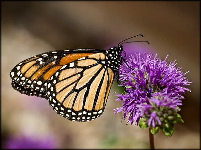 monarch on purple flower