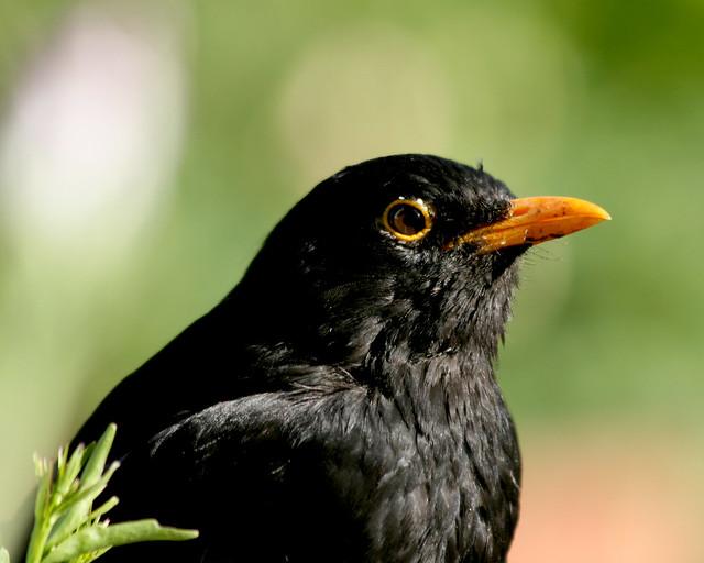 Blackbird portrait