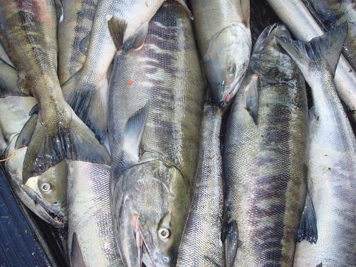 Fishery03-Chum-Orr-Oct25_2007