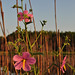 Kosteletzkya virginica by A Tidewater Gardener
