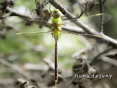 Canadien Dragonfly