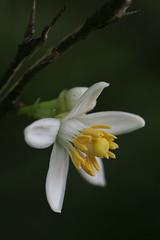 Lime Tree Bloom