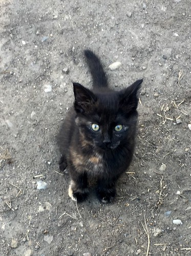 Milkshake the kitten at the farm