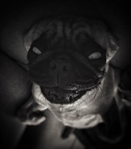 hellpug temnota peklo pugpekelny hellchoseme pugstagram pug dog blackandwhite blackphoto demoneyes levitating demondog lorrie
